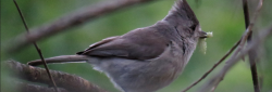 Oak Titmouse.N.Uyeda